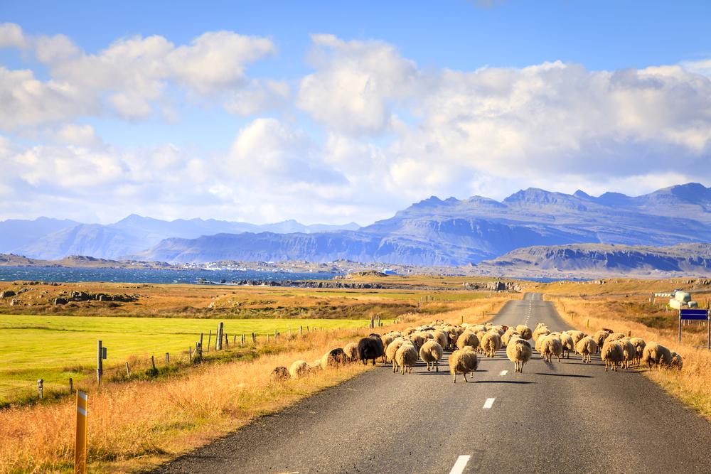 Moutons sur les routes d'Islande lors de votre road-trip